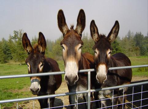 Mammoth Donkey | The Farm At Walnut Creek