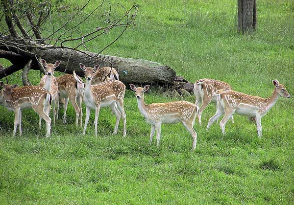 Fallow Deer in Amish Country | The Farm At Walnut Creek