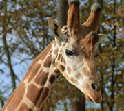 Download this Giraffe picture 'Looking for Food' at The Farm at Walnut Creek