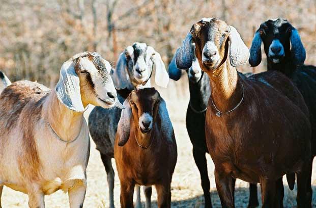 Feed Nubian Goat - Amish Country | The Farm At Walnut Creek