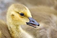 Canada Goose at The Farm at Walnut Creek