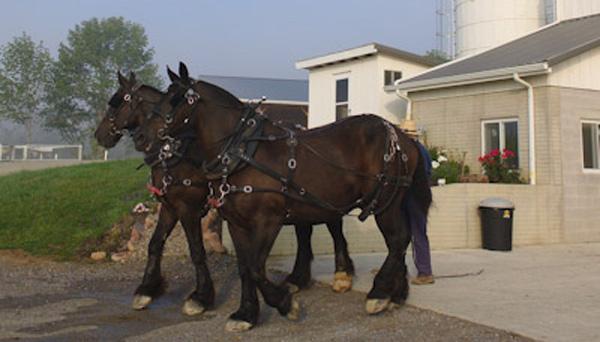 Percheron Draft Horses   The Farm At Walnut Creek