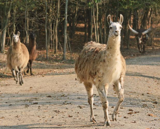 Feed And Pet The Llama At The Farm At Walnut Creek Ohio