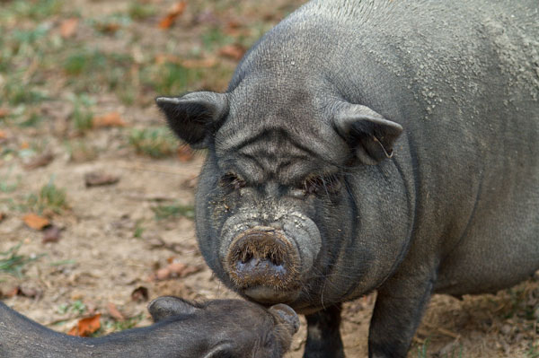 adult pot bellied pig